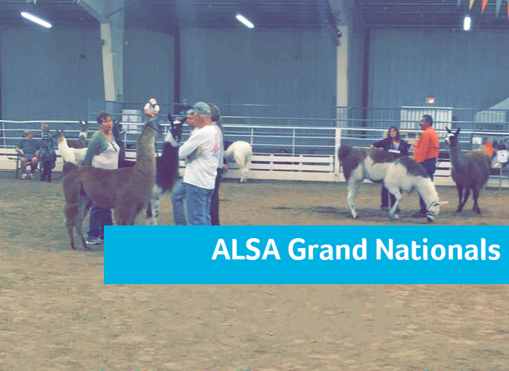 ALSA Grand National Llama Show Photo - Click Here to See