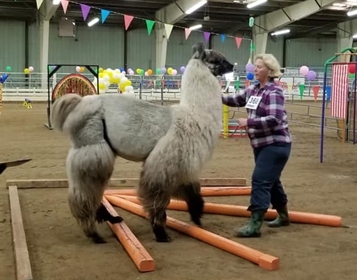 Alpaca Llama Show Grand Nationals Returning to Hutchinson Photo - Click Here to See